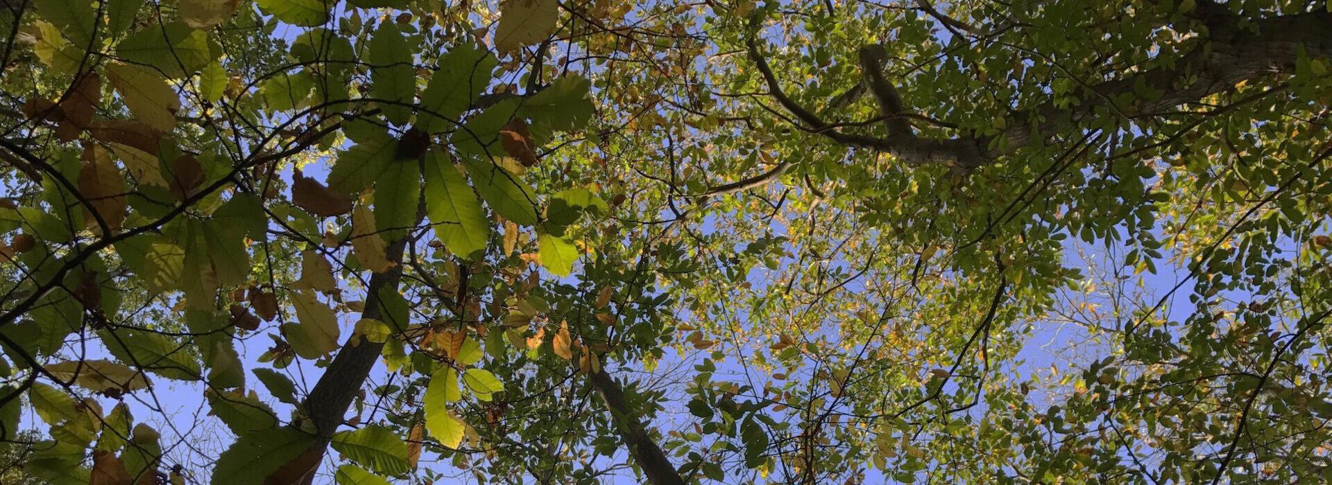 Forêt-de-châtaignier