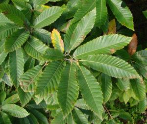 hojas-castano